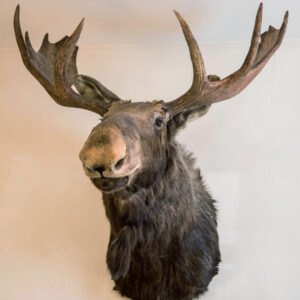 Image of moose head on wall in Rhinebeck Department Store